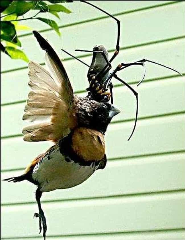 Their Durable Webs Can Catch B... is listed (or ranked) 1 on the list Giant Orb Weaver Spiders Exist, And They're Terrifying
