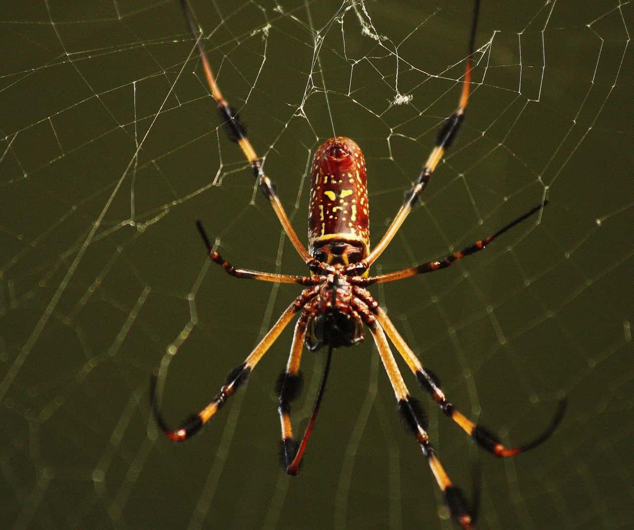 Some Orb-Weavers Measure Five  is listed (or ranked) 4 on the list Giant Orb Weaver Spiders Exist, And They're Terrifying