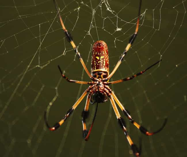 Some Orb-Weavers Measure... is listed (or ranked) 4 on the list Giant Orb Weaver Spiders Exist, And They're Terrifying
