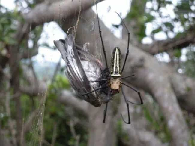 Some Orb-Weavers Measure Five ... is listed (or ranked) 4 on the list Giant Orb Weaver Spiders Exist, And They're Terrifying