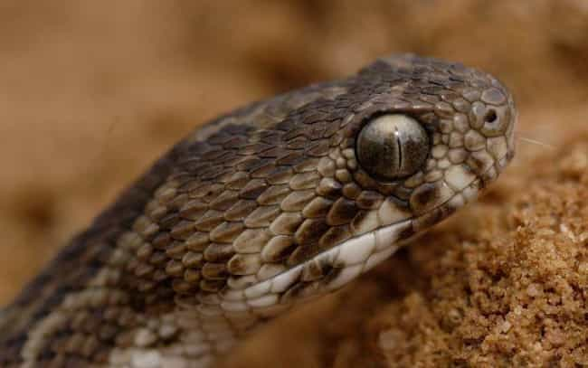 Saw-Scaled Vipers Will Leave Y... is listed (or ranked) 4 on the list Things You Should Never Google: Snake Bites