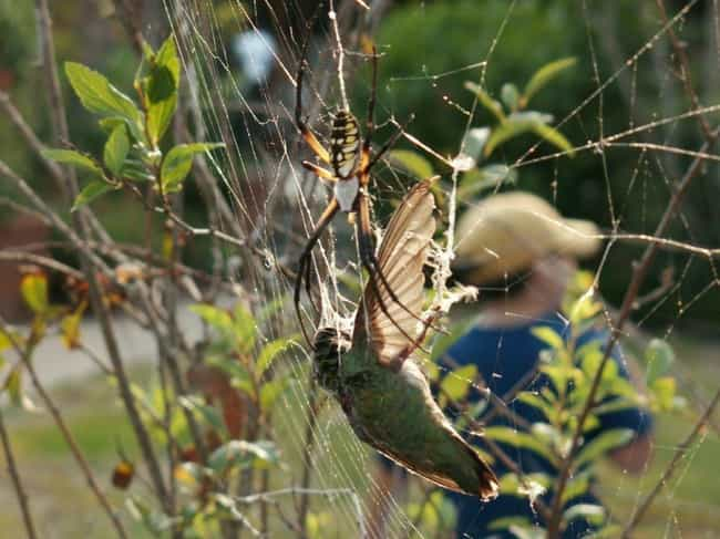 Golden Silk Orb-Weavers Look T... is listed (or ranked) 3 on the list Giant Orb Weaver Spiders Exist, And They're Terrifying