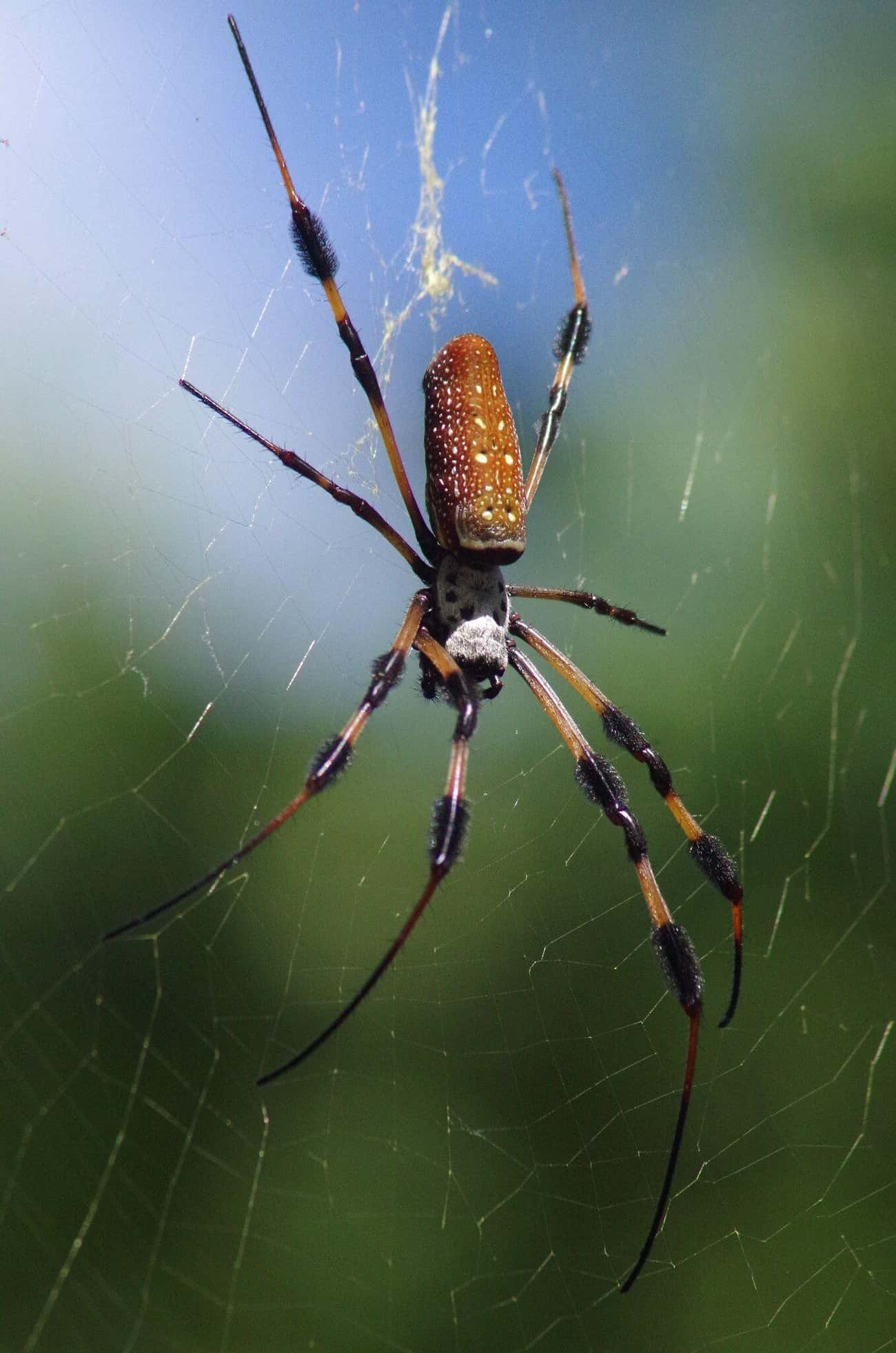 Golden Silk Orb-Weavers Look T is listed (or ranked) 3 on the list Giant Orb Weaver Spiders Exist, And They're Terrifying