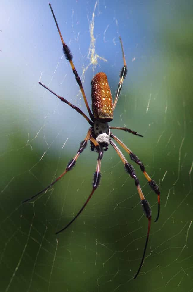 Golden Silk Orb-Weavers ... is listed (or ranked) 3 on the list Giant Orb Weaver Spiders Exist, And They're Terrifying