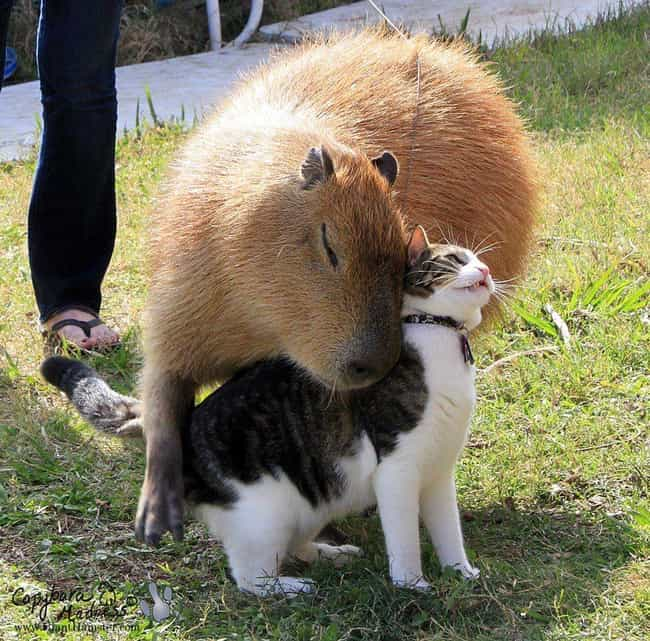 Meow And Cappy, Oh So Happy is listed (or ranked) 1 on the list It's Official: All Animals Love Hanging Out With Capybaras