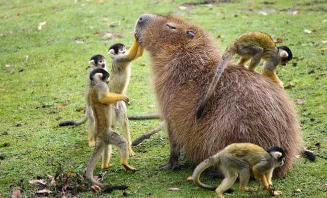 Obviously The Most Popular Mem... is listed (or ranked) 4 on the list It's Official: All Animals Love Hanging Out With Capybaras