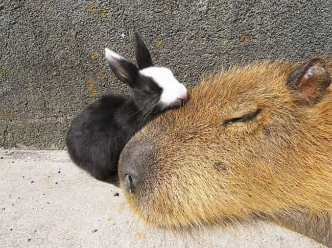 Capybara Make The Best Snuggle... is listed (or ranked) 3 on the list It's Official: All Animals Love Hanging Out With Capybaras
