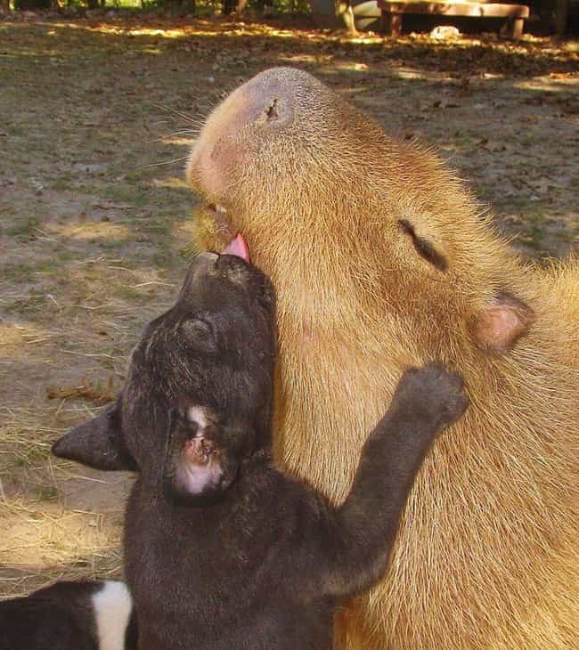 A Capybara Enjoying Some Puppy... is listed (or ranked) 4 on the list It's Official: All Animals Love Hanging Out With Capybaras