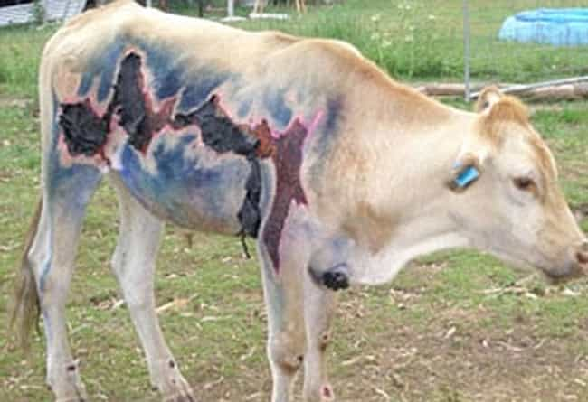 Holy Cow This Bovine Is Lucky To Be Alive