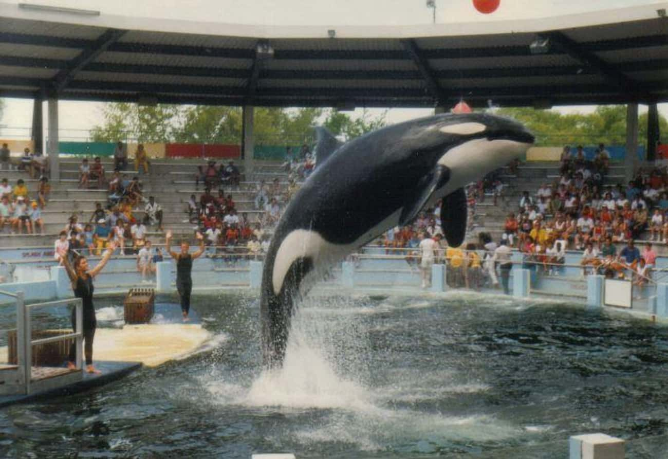 Lolita Was Captured And Ripped is listed (or ranked) 1 on the list Lolita The Lonely Orca Has Been Living In The Country's Smallest Whale Tank For Over 45 Years