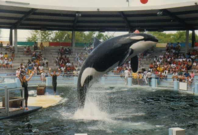 Lolita Was Captured And Ripped... is listed (or ranked) 1 on the list Lolita The Lonely Orca Has Been Forced To Live In The Country's Smallest Whale Tank For 45 Years
