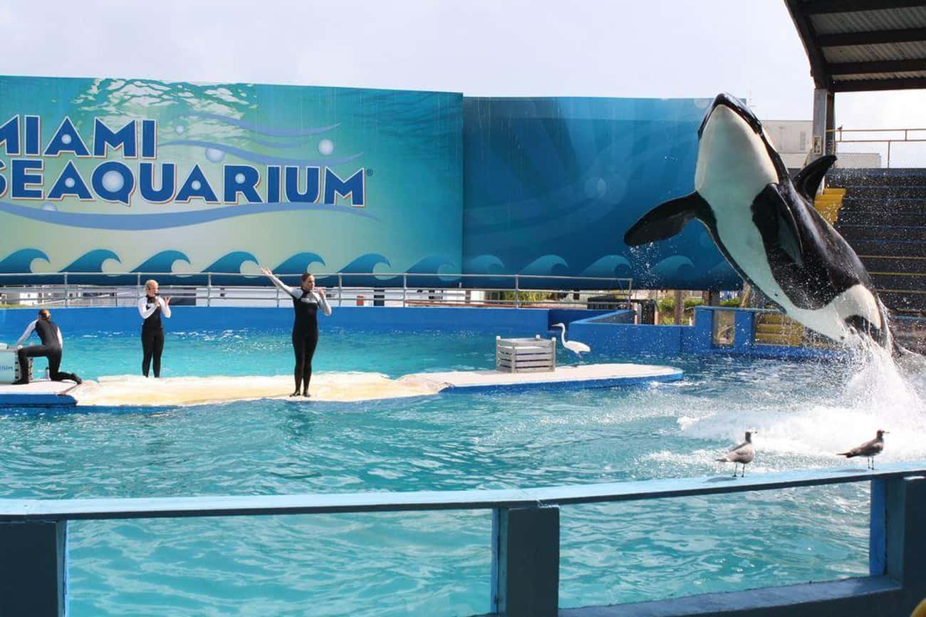 The Lonely Whale Hasn't Se is listed (or ranked) 3 on the list Lolita The Lonely Orca Has Been Living In The Country's Smallest Whale Tank For Over 45 Years