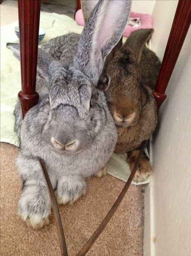 They Come In Seven Diffe... is listed (or ranked) 4 on the list The Internet Is Losing Its Mind Over These Giant Rabbits That Apparently Make Great Pets