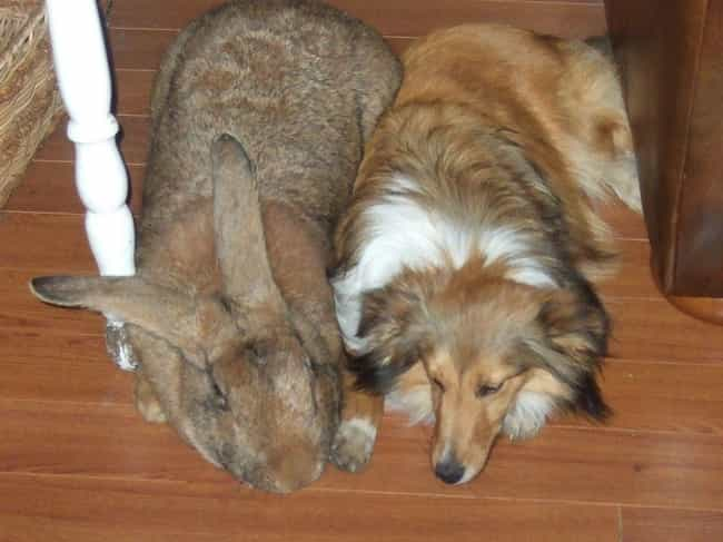 They Are The Largest Rab... is listed (or ranked) 1 on the list The Internet Is Losing Its Mind Over These Giant Rabbits That Apparently Make Great Pets