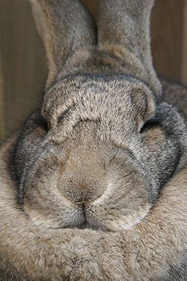 Males And Females Look A... is listed (or ranked) 3 on the list The Internet Is Losing Its Mind Over These Giant Rabbits That Apparently Make Great Pets