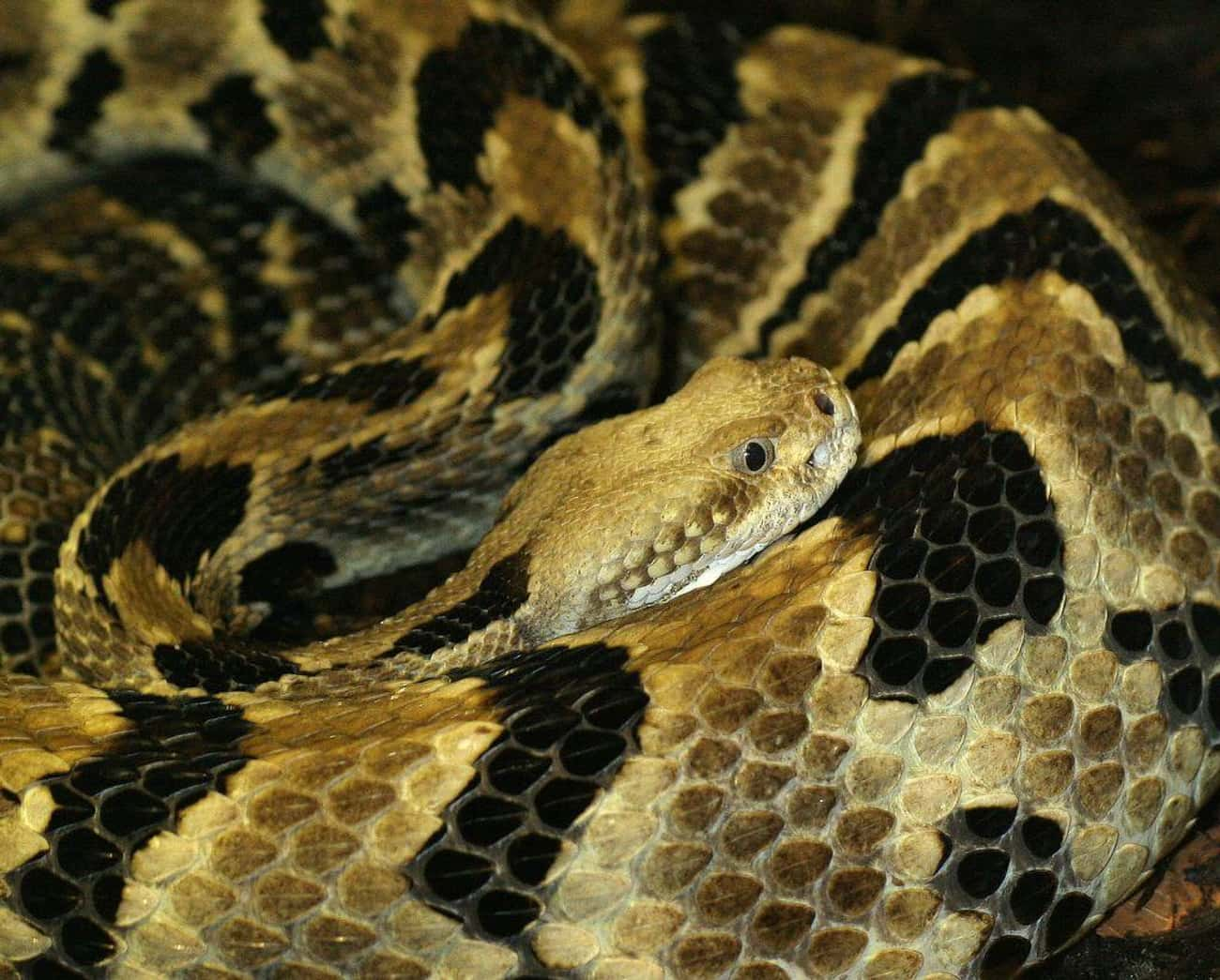 Canebrake Rattlesnakes