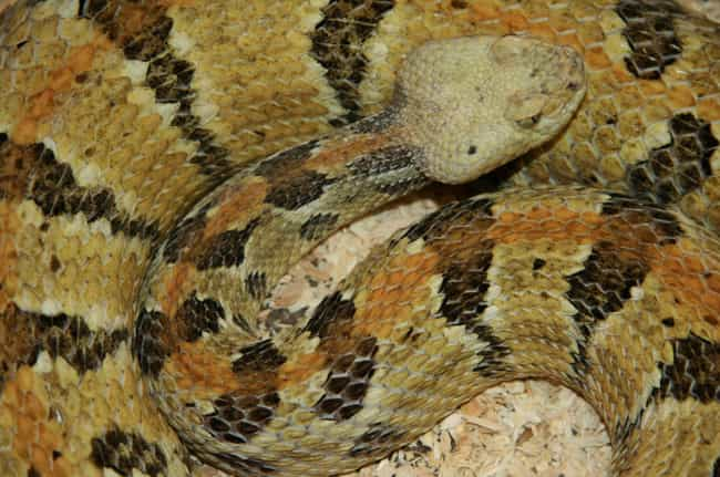 Canebrake Rattlesnakes is listed (or ranked) 2 on the list Terrifying Creatures From Louisiana You Never Want To Encounter