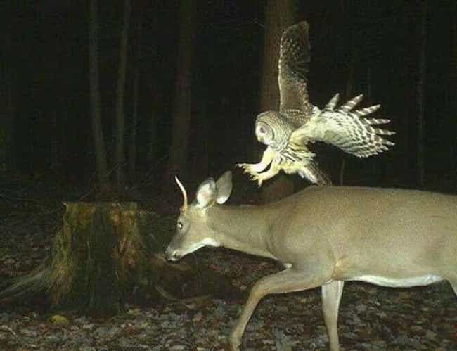 Go Big Or Go Home is listed (or ranked) 3 on the list 17 Times Trail Cams Revealed The Hilarious, Hidden Lives Of Animals