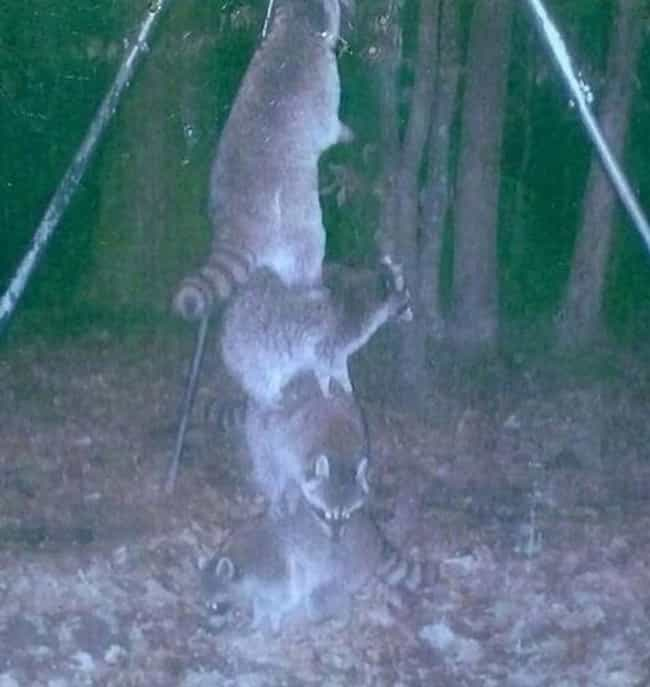 If You've Ever Wondered Wh... is listed (or ranked) 1 on the list 17 Times Trail Cams Revealed The Hilarious, Hidden Lives Of Animals