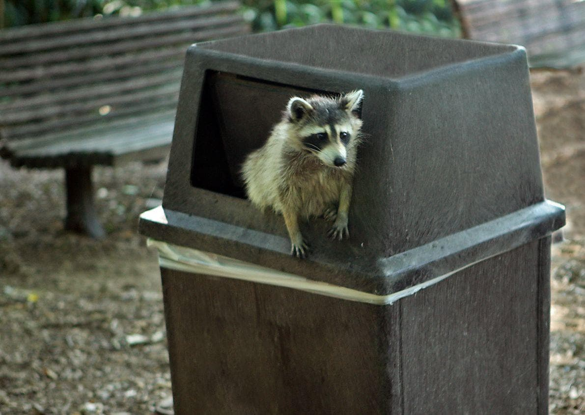 Random Reasons Why You Should Never Own A Raccoon As A Pet