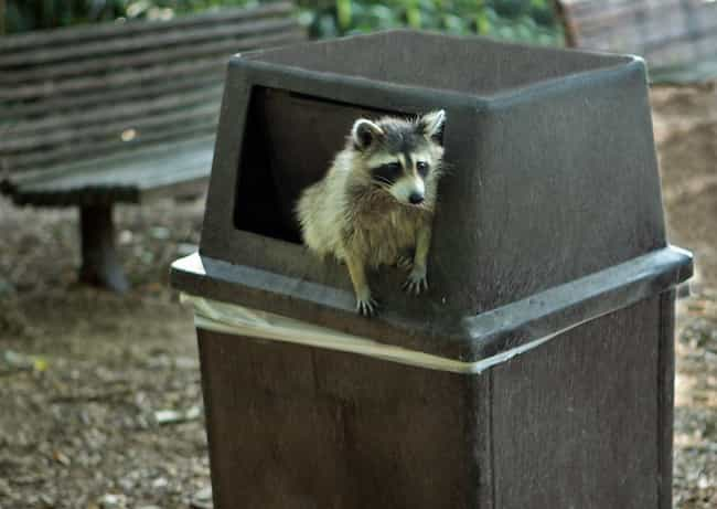 They Are Destructive AF And Wi... is listed (or ranked) 1 on the list Here's Why You Should Never Own A Raccoon As A Pet
