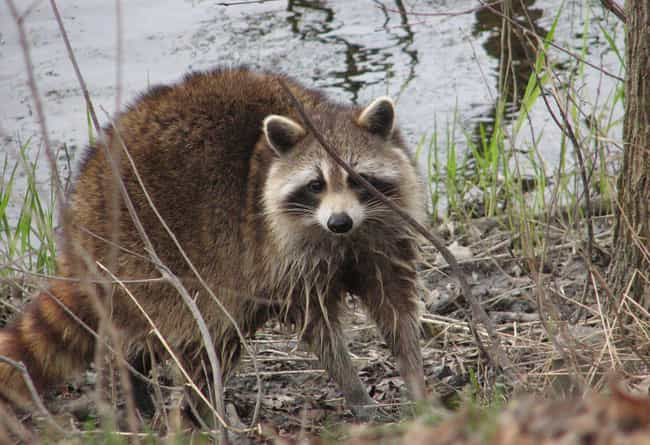 Your Raccoon Will Bite You All... is listed (or ranked) 2 on the list Here's Why You Should Never Own A Raccoon As A Pet
