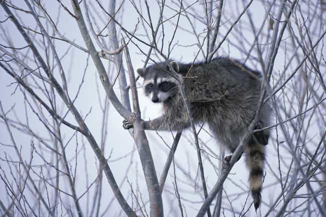 They Can Be Completely Unpredi... is listed (or ranked) 4 on the list Here's Why You Should Never Own A Raccoon As A Pet