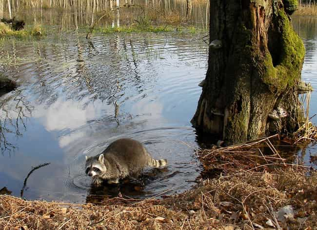 Raccoons Are Known To Carry In... is listed (or ranked) 3 on the list Here's Why You Should Never Own A Raccoon As A Pet