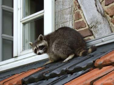 It's Hard To Find A Vet With Raccoon Experience