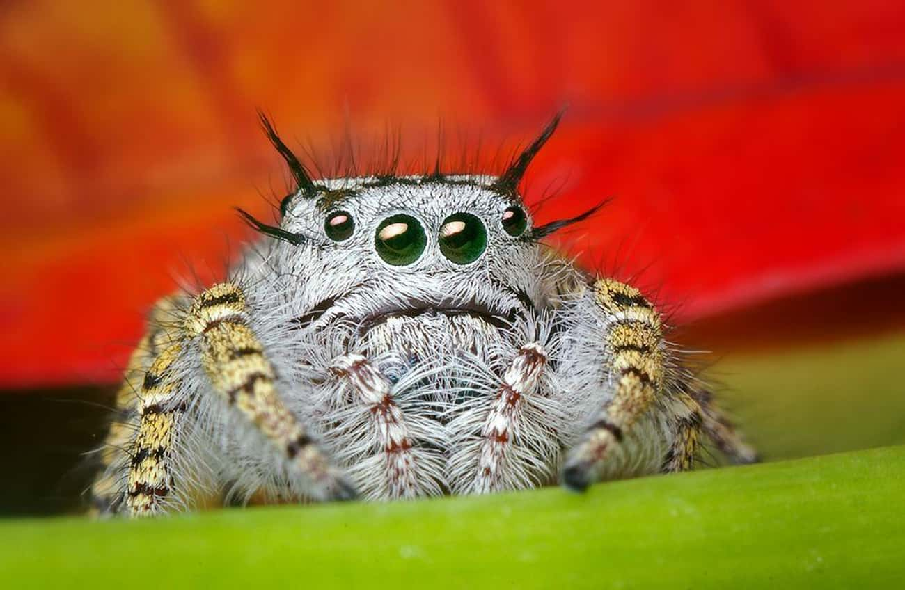 This Spider Looks Like It' is listed (or ranked) 4 on the list Cute Lil' Spiders That'll Cure Your Arachnophobia