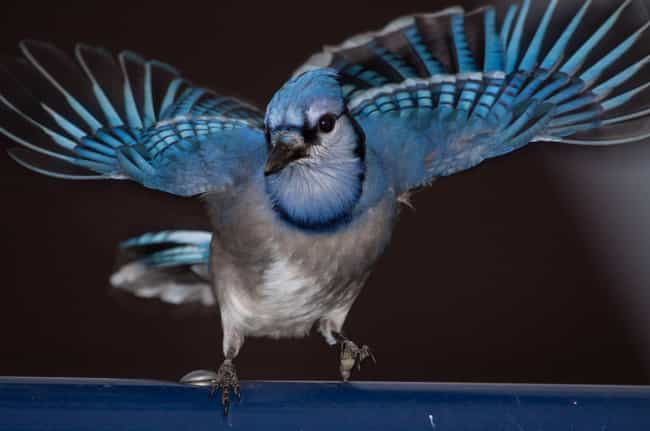 Blue Jays Have A Reputation Fo... is listed (or ranked) 1 on the list Blue Jays May Be Cute, But They're Airborne Jerks Of The Highest Order