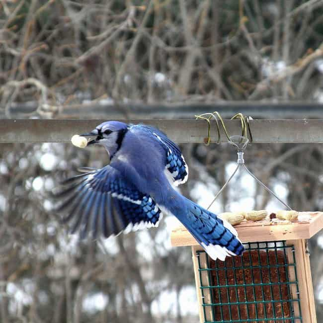 Like Crows, They've Been Obser... is listed (or ranked) 3 on the list Blue Jays May Be Cute, But They're Airborne Jerks Of The Highest Order