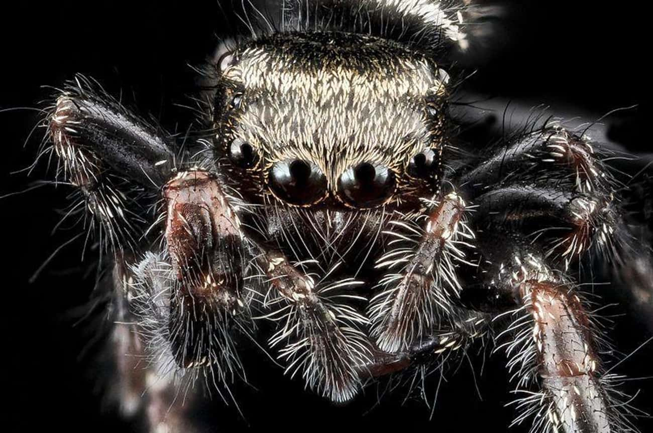 Jumping Spiders Are Surprising is listed (or ranked) 3 on the list Captivating And Creepy Close-Ups Of Spider Faces