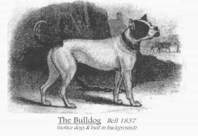 A Bulldog's Exaggerated Fe... is listed (or ranked) 3 on the list We've Overbred Bulldogs To The Point Where They Can't Breathe Or Breed Without Assistance