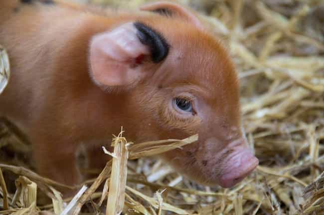 Micro Pigs Are Cuter Than Any ... is listed (or ranked) 7 on the list Pygmy And Dwarf Animals That Are So Cute It Hurts