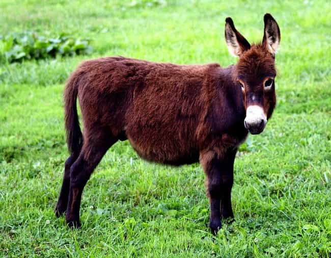 Miniature Donkeys Are Always F... is listed (or ranked) 8 on the list Pygmy And Dwarf Animals That Are So Cute It Hurts