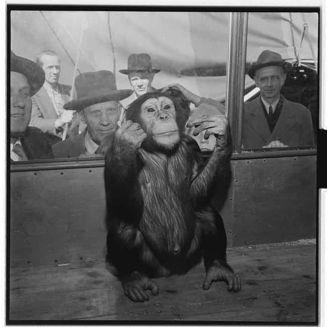 Chimpanzees Have Their Teeth K... is listed (or ranked) 1 on the list 12 Horrible Workplace Abuses From The Circus Nobody Knows About