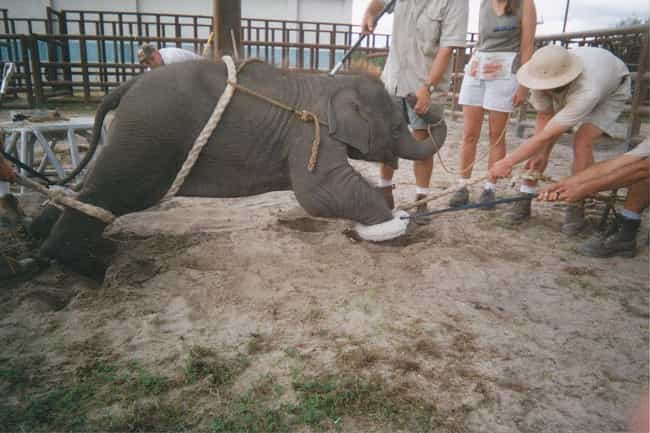 Elephants Give Birth With Thei... is listed (or ranked) 3 on the list 12 Horrible Workplace Abuses From The Circus Nobody Knows About