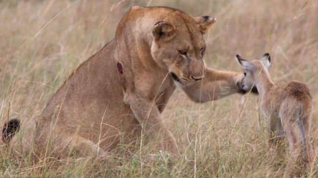 This Lion Seems Convinced That... is listed (or ranked) 4 on the list Cases Of Animal Mistaken Identity That'll Seriously Make Your Day Better