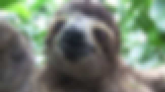 Sloths Are Abducted From Their... is listed (or ranked) 2 on the list The Consequences Of Taking Selfies With Exotic Animals In Foreign Countries
