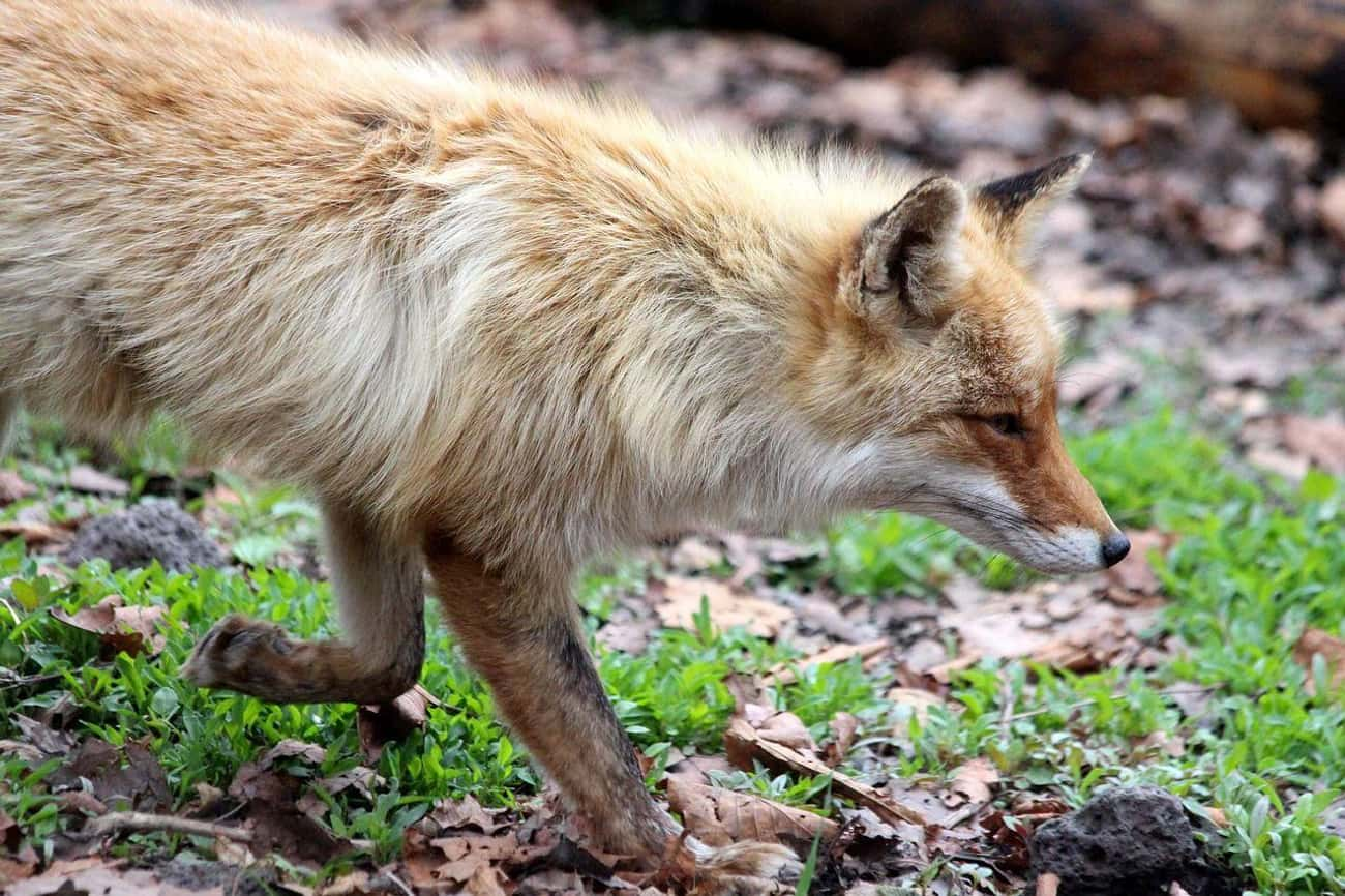 Their Genes Are Entirely Diffe is listed (or ranked) 2 on the list Russians Are Trying To Turn Foxes Into Pets—But They Noticed A Weird Side Effect