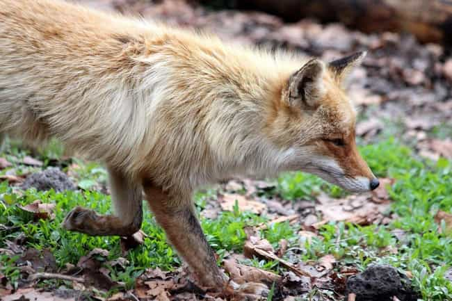 Their Genes Are Entirely... is listed (or ranked) 2 on the list Russians Are Trying To Turn Foxes Into Pets—But They Noticed A Weird Side Effect