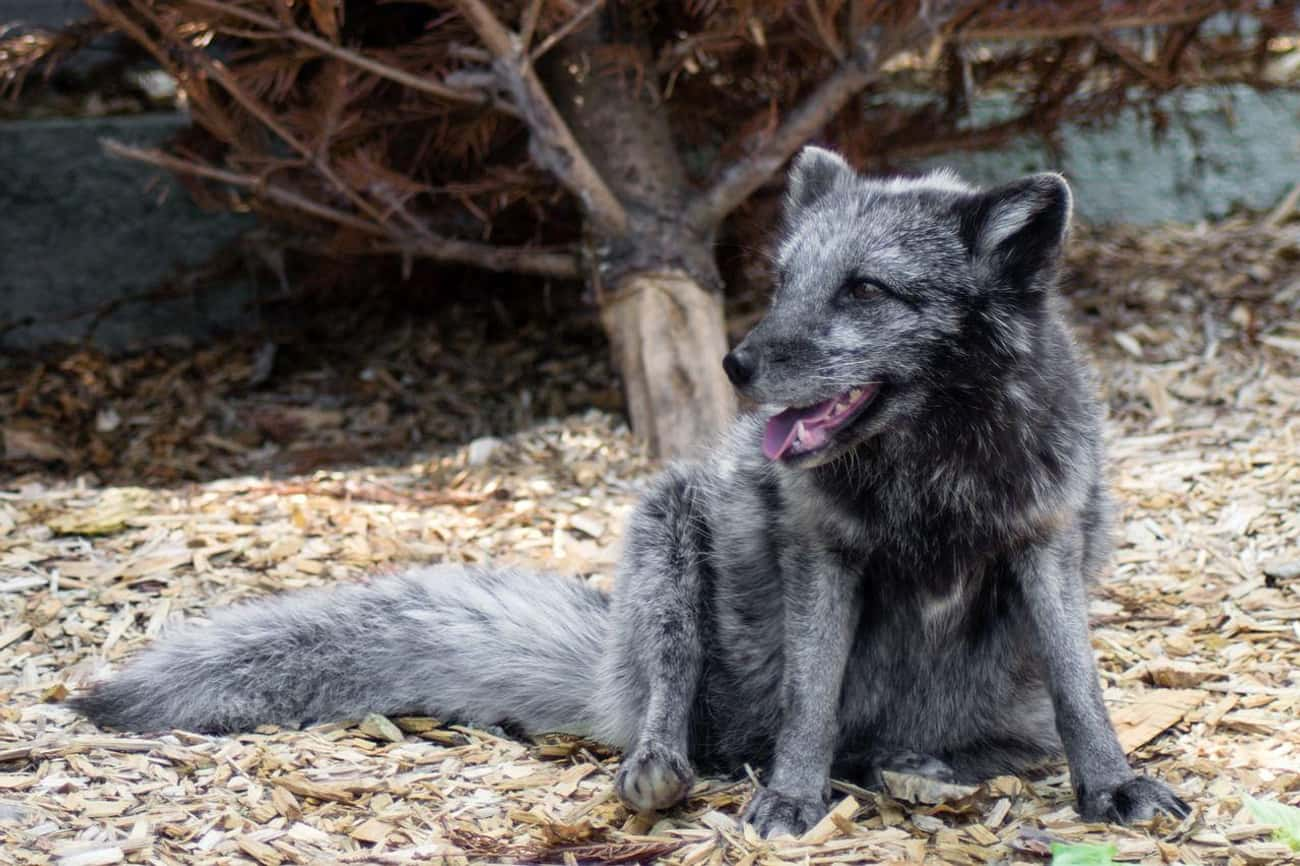 The Domesticated Foxes Are Phy is listed (or ranked) 1 on the list Russians Are Trying To Turn Foxes Into Pets—But They Noticed A Weird Side Effect