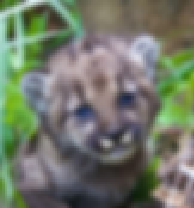 Inbreeding Puts The Whole Popu... is listed (or ranked) 4 on the list The Odd Lives Of The Wild Mountain Lions That Live Right In The Middle Of A Major City
