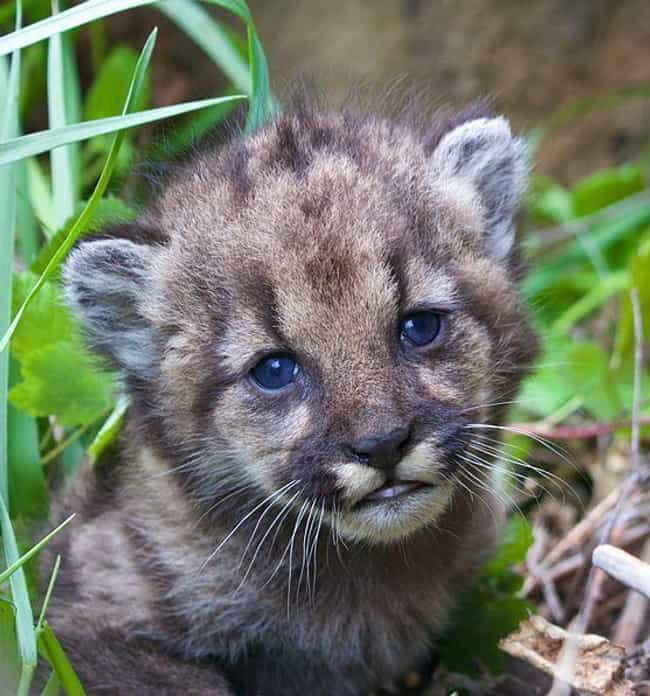 Inbreeding Puts The Whol... is listed (or ranked) 4 on the list The Odd Lives Of The Wild Mountain Lions That Live Right In The Middle Of A Major City