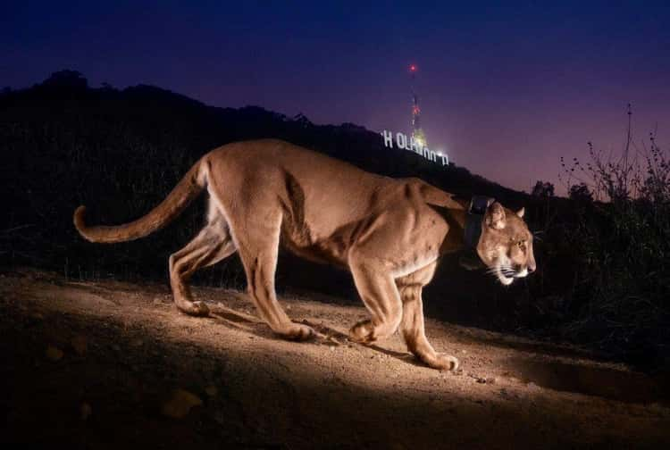 One Mountain Lion Lives Near The Hollywood Sign
