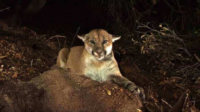 The Lions' Lives Are Dan... is listed (or ranked) 3 on the list The Odd Lives Of The Wild Mountain Lions That Live Right In The Middle Of A Major City