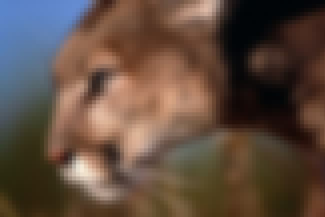 A Mountain Lion Is On A Rampag... is listed (or ranked) 4 on the list Times One Animal Terrorized A Whole Village