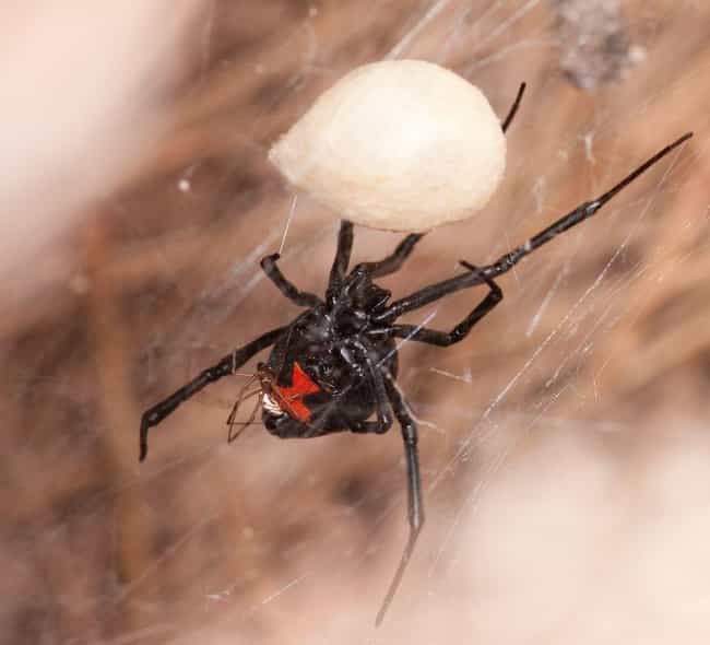 A Black Widow Spider Bro... is listed (or ranked) 3 on the list The Deeply Unsettling And Unsolved Murder Of Dorothy Jane Scott