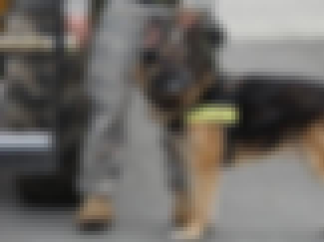 Sniffer Dogs Are Being Used To... is listed (or ranked) 1 on the list We're Training Dogs To Sniff Out Terrorists, Pedophiles, And Fraudsters - And Here's How